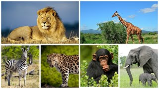 Звуки и голоса диких животных теплых стран для детей   Учим диких животных