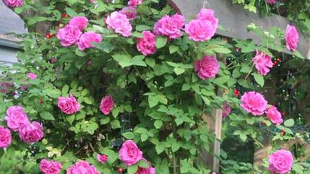 Growing Roses How To Plant Climbing Roses Youtube