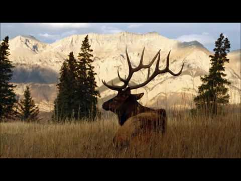 Bull Elk Bugling for Relaxation and Meditation
