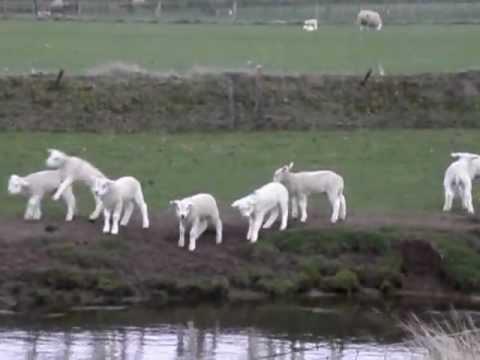 Texel Sheep NL