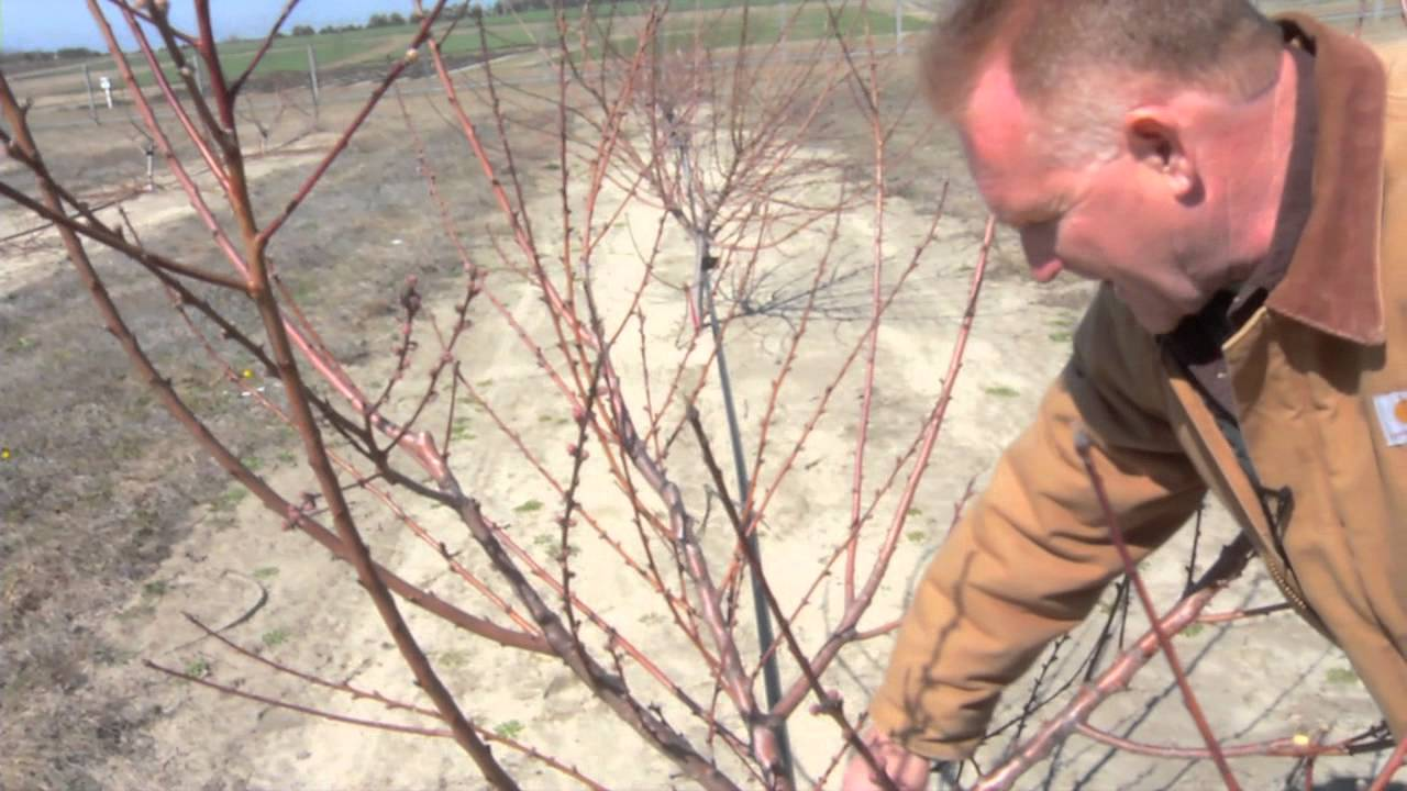 Pruning A Two Year Old Peach Tree