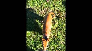 Dachshund mix Maggie basic obedience and off leash fun