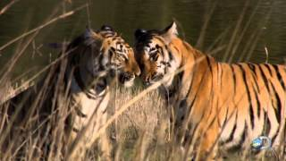 Rewriting the Rules of Tiger Behavior | Tigress Blood