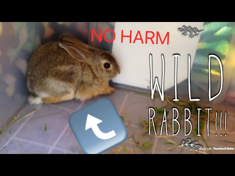 HOW TO CATCH AND HOLD A WILD RABBIT | #PeregrineFalconLover