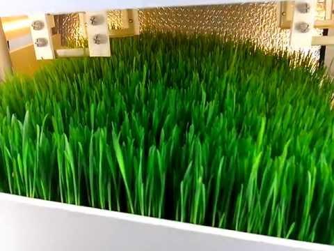 Гидропоника выращивание пшеници Курительные смеси гидра Нефтекамск