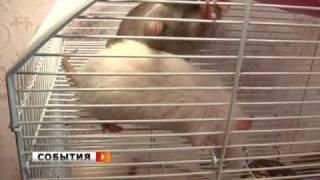 Крысы породы лонгхэйр появились в Самаре