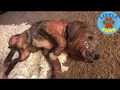 Rescue a Dog Covered In Painful Sores.AMAZING TRANSFORMATION! A happy ending heartwarmer.