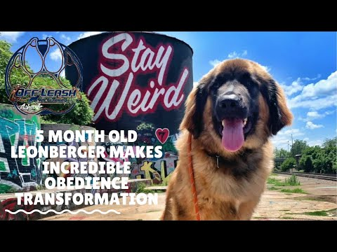 Asheville Dog Trainers - 5 Month Old Leonberger Makes Incredible Obedience Transformation!