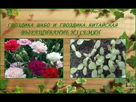 Гвоздика Шабо и гвоздика китайская - выращивание из семян