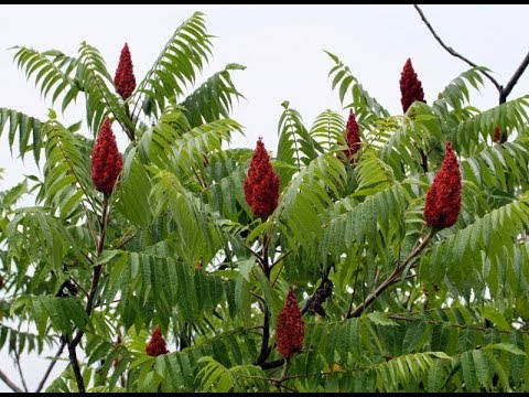 Sumac! What is it? What's it good for? - YouTube