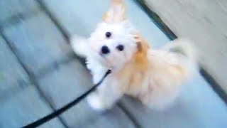 Morkie Puppy Going For A Walk