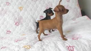 関西ミニチュアピンシャー子犬販売→ http://www.at-breeder.net/miniatu...