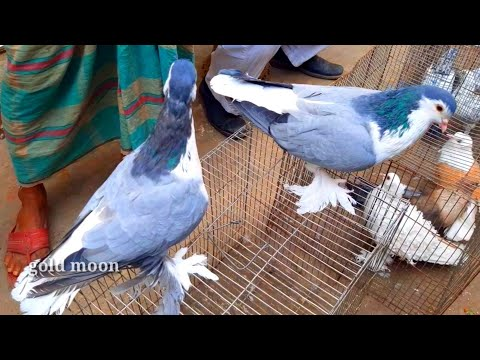World's Most Quality Full Blue Barless Lahore Pigeon | Sirazi Pigeons | Unique Fancy Pigeon