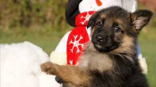 Indiana German Shepherds I & J Litter Puppies