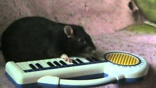 Schnozzle the rat plays the piano