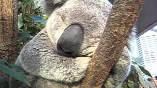 Repeat youtube video Koala bear sleeping in a tree, up close - CUTE!