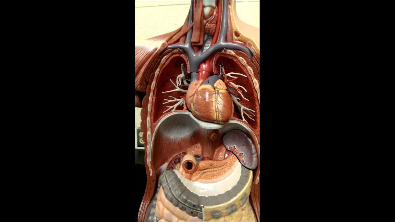 Endocrine structures on torso model - YouTube