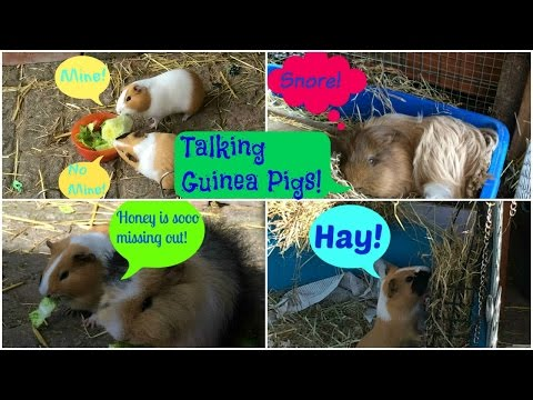 If Guinea Pigs Could Talk... | Furry Friends
