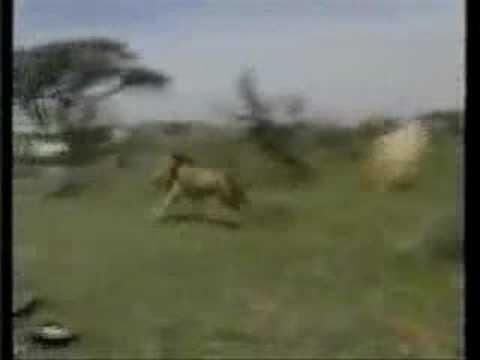 Lion Hunt Gone Bad