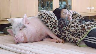 잠자는 돼지를 귀찮게 …