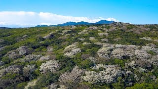 [ 4K UHD ] 絶景ドローン空撮:伊豆大島 三原山とオオシマザクラの樹海 Cherry Blossoms forest in Izu-Oshima-island