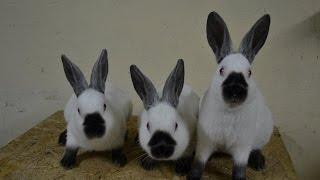 Poradnik dla początkującego hodowcy królików