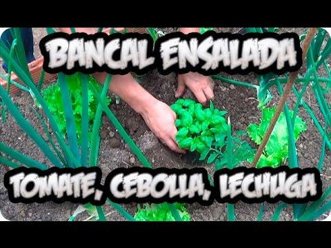 Bancal ensalada tomate cebolla lechuga asociacion de for Asociacion de cultivos tomate