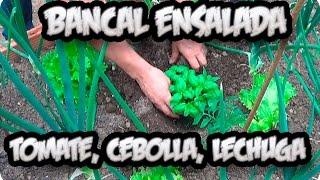 Bancal Ensalada Tomate Cebolla Lechuga Asociacion De Cultivo || La Huertina De Toni