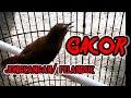 Jongkangan Pelanduk Gacor Cocok Buat Pancingan Burung Males Bunyi  Mp3 - Mp4 Download