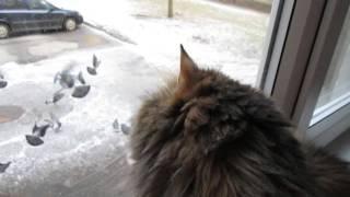 Кошка Феня  ругается на голубей.