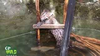 This Fishing Cat Rescued From A Well !