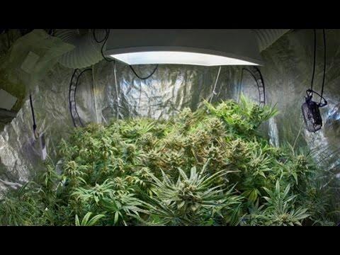 Cannabis : Culture en intérieur étape par étape