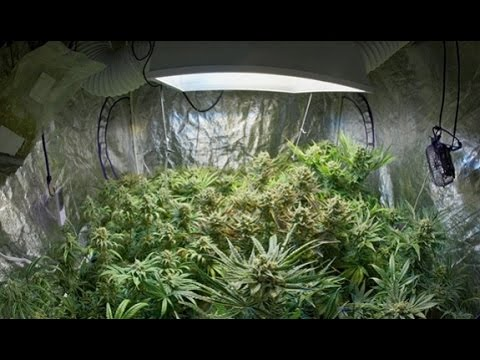 Cannabis culture en int rieur tape par tape youtube for Cannabis interieur