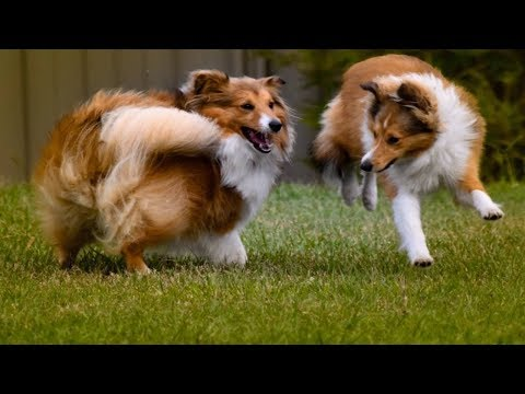 TOP FUNNIEST SHETLAND SHEEPDOG VIDEOS