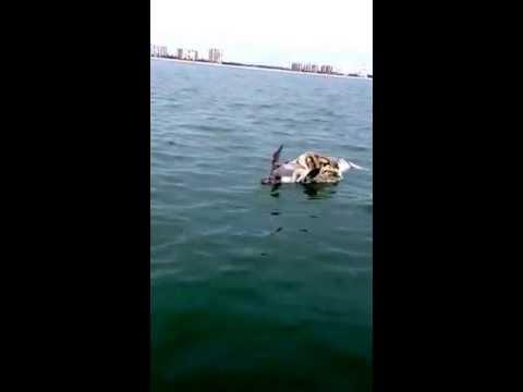 Tiger Shark Eats Manatee Off Marco Island Fl