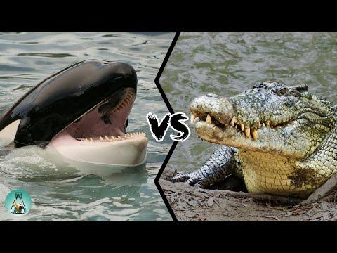 KILLER WHALE VS SALTWATER CROCODILE - Who Is The Strongest Predator?