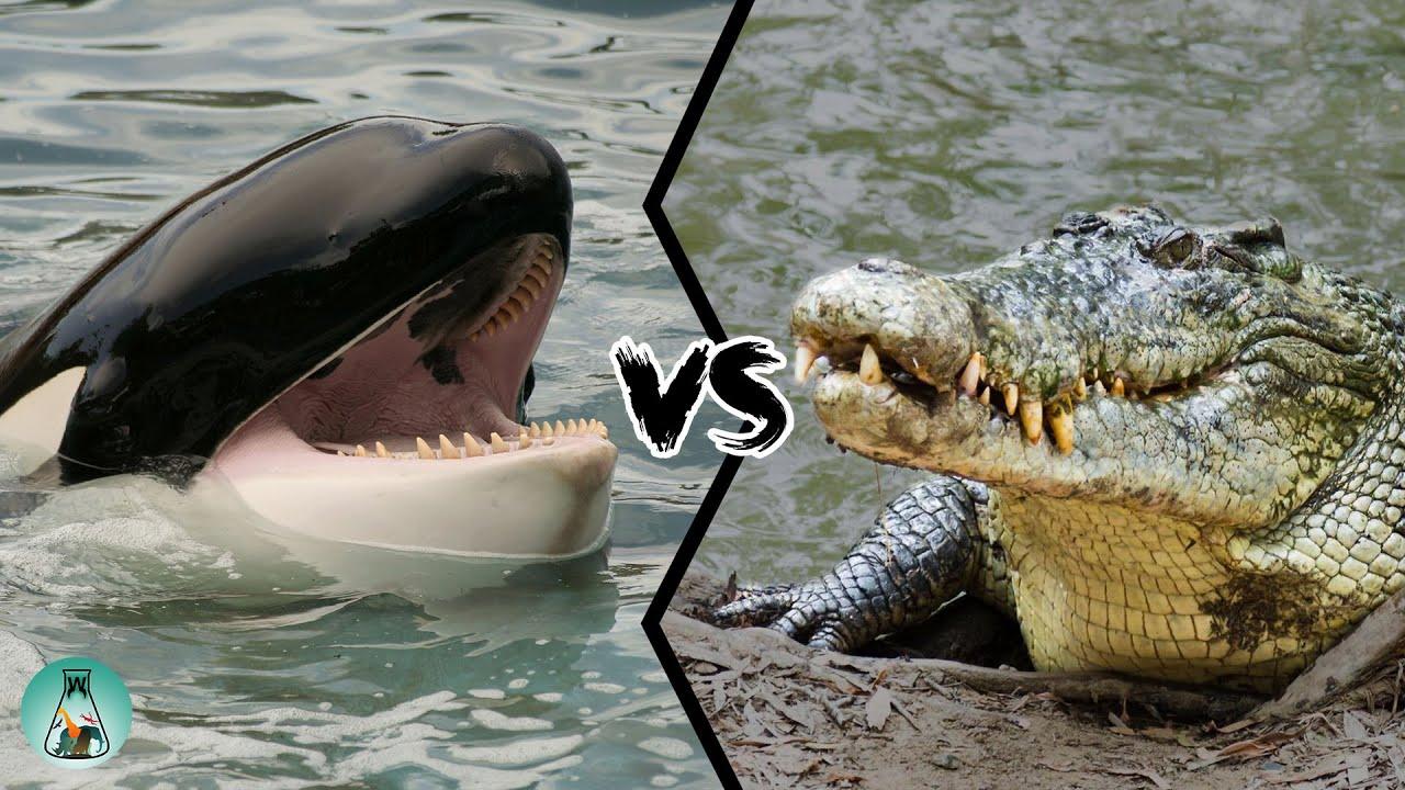 Killer Whale Vs Saltwater Crocodile Who Is The Strongest Predator Youtube