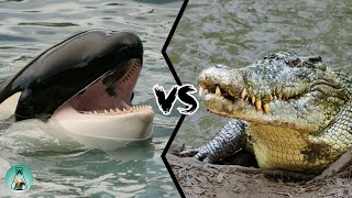 KILLER WHALE VS SALTWATER CROCODILE  Who is the strongest predator?