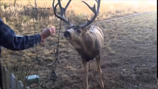 Deer Tangled in Christmas Lights - Rescued thumbnail