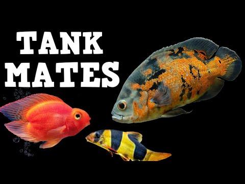 TOP 10 Tank Mates For Oscar Fish!