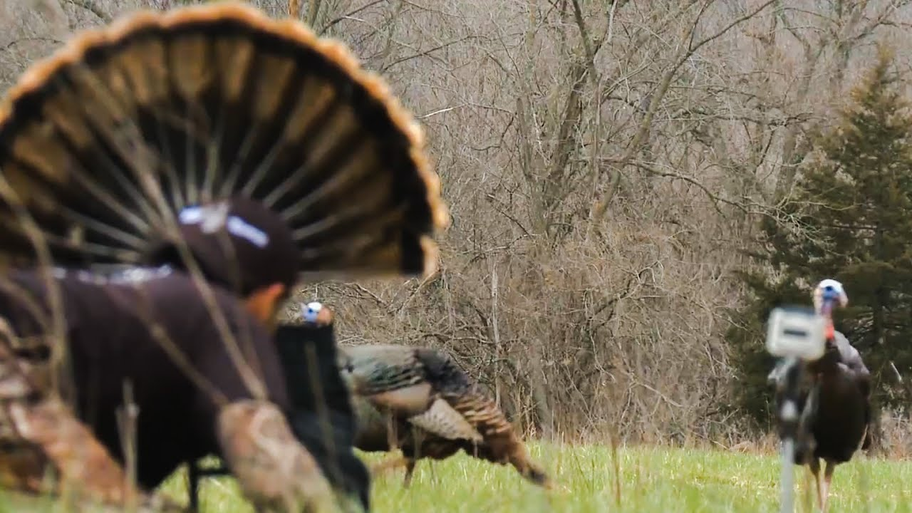Most Exciting Way to Hunt Turkeys: Mojo Scoot-n Shoot Turkey Decoy