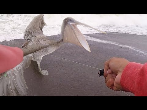 HUGE BIRD Caught In Fishing Line