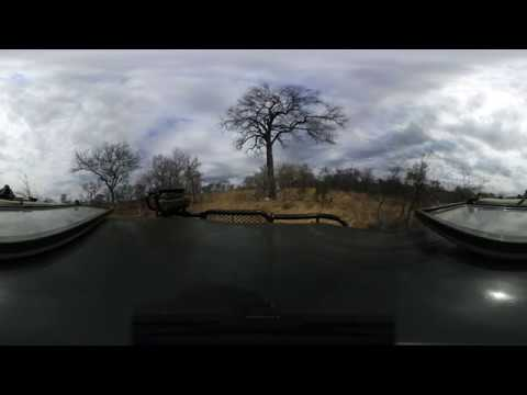 360 degree - Sabi Sand game drive, leopard on bottom of tree with kill