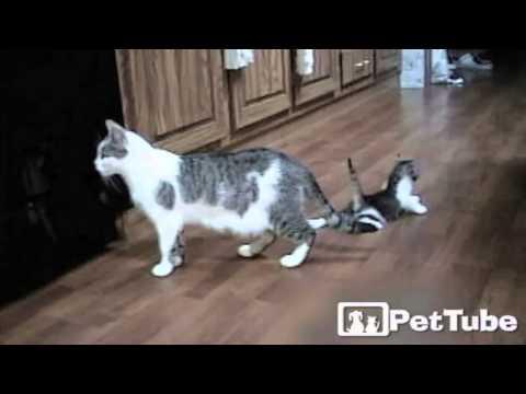Moonwalking Kitten - PetTube