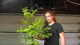 Bonsai - Dawn Redwood Intro