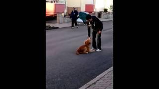 Max-golden Retriever Puppy Obedience
