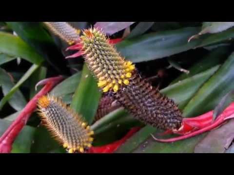 Bromeliad Aechmea Pineliana var Pineliana   Top 10 Bromeliads HD 15