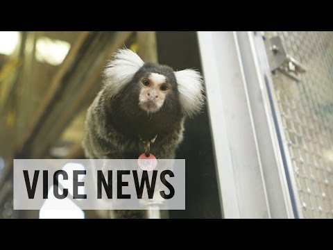 Training Monkeys for Experimental Use (Extra Scene from 'Inside The Monkey Lab')