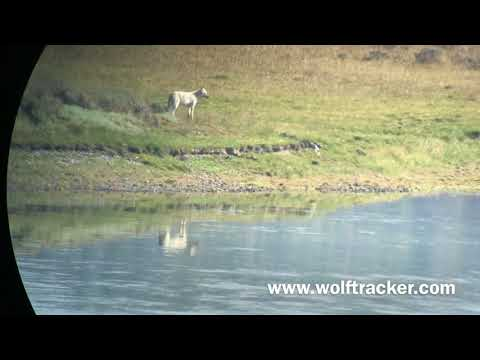 Yellowstone's White Wolves - The Wapiti Alpha Female