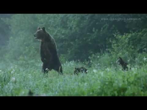 Bieszczadzkie niedźwiedzie (ursus arctos)